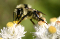 buy dead honey bee and bumblebee