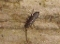 buy dead springtail dried collembola