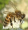 buy preserved honeybee dried Apis mellifera