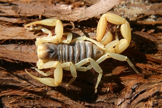 buy dead desert hairy scorpion