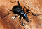 buy dead snail eater Scaphinotus beetle