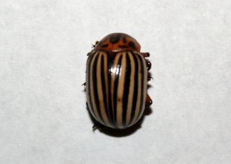 Colorado Potato beetle buy dead